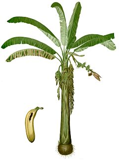Banana 'tree' (Musa acuminata 'Lacatan'). Illustration from the 1880 book Flora de Filipinas by Francisco Manuel Blanco