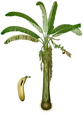 Bananier — Wikipédia