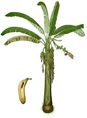 Lakatan banana - Lakatan illustration in the 1880 book Flora de Filipinas by Francisco Manuel Blanco