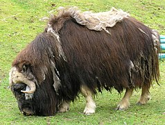 Musk ox, Defiance Point Zoo.jpg