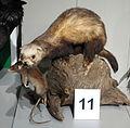 Mustela putorius - Senckenberg Naturhistorische Sammlungen Dresden - DSC08196.JPG