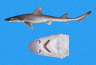 Humpback smooth-hound Species of shark