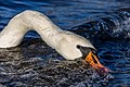 Mute swan (Cygnus olor) looking for food in waves, Windermere, England.jpg