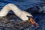 Mute swan (Cygnus olor) looking for food in waves, Windermere, England.jpg
