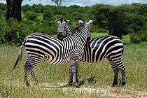 Mwagusi zebras.jpg