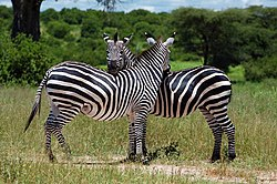 Ruaha nationalpark - zebraer i Ruaha nationalpark.Foto: Paul Shaffner