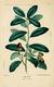 NAS-012 Quercus virginiana.png