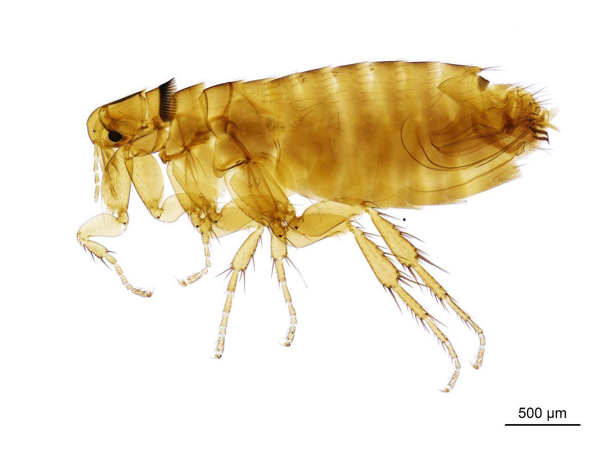 Fleas On A Dog S Ear