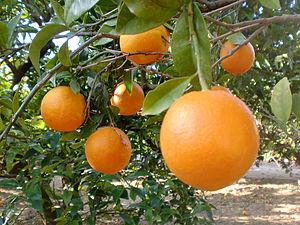 Español: Naranjas en el árbol, en Valencia.
