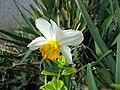 Narcis v Ostopovicích.jpg