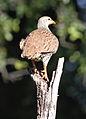 Natal Spurfowl (or Natal Francolin), Pternistis natalensis, at Mapungubwe National Park, South Africa (18197489882).jpg