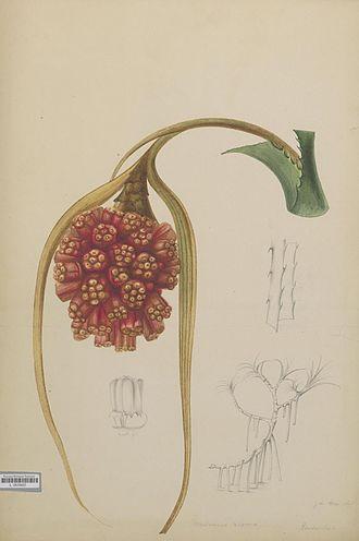 Pandanus - J. van Aken: Pandanus repens, 1860-1870