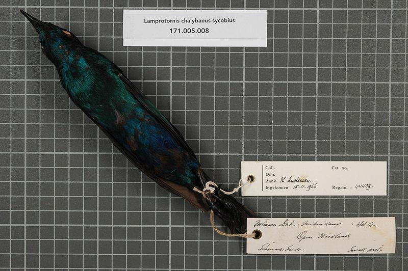 800px-Naturalis_Biodiversity_Center_-_RMNH.AVES.44439_2_-_Lamprotornis_chalybaeus_sycobius_%28Hartlaub%2C_1859%29_-_Sturnidae_-_bird_skin_specimen.jpeg