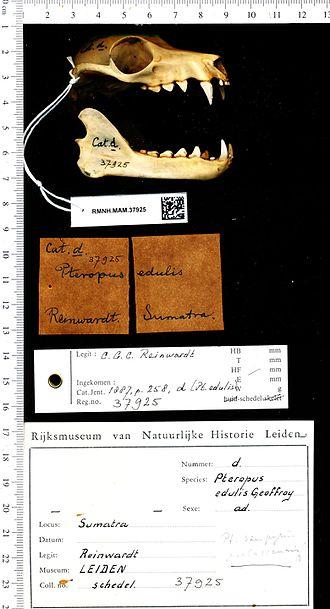 Large flying fox - Image: Naturalis Biodiversity Center RMNH.MAM.37925 lat Pteropus vampyrus Bat Loose bones