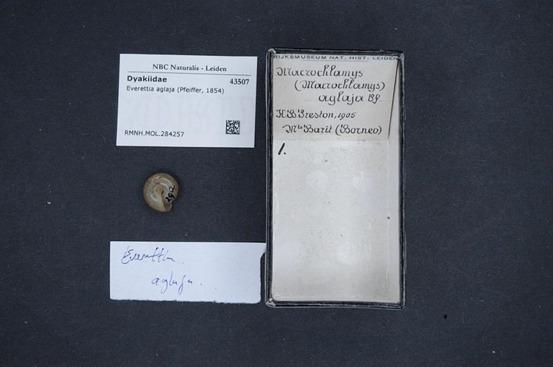 File:Naturalis Biodiversity Center - RMNH.MOL.284257 - Everettia aglaja (Pfeiffer, 1854) - Dyakiidae - Mollusc shell.jpeg