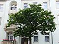 Naturdenkmal Japanischer Flieder Gustav-Freytag-Straße 30 Dresden 03.JPG