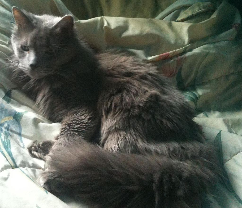 Nebelung Cat at 10
