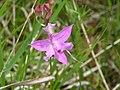 Necedah Grass Pink (5447888405).jpg
