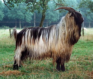 Image result for Landrace goats