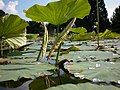 Nelumbo nucifera – Arboretum Ellerhoop 16.jpg