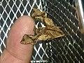 Neogurelca himachala - 2.jpg