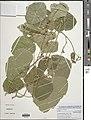 Neorautanenia mitis-NMNH-13636127.jpg