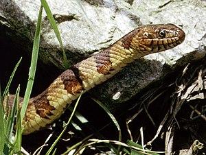 Northern water snake - Image: Nerodia sipedon PCSL02111B1