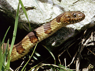 Lake Erie - The northern watersnake (Nerodia sipedon) is nonvenomous.