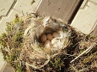 Hniezdo žltochvosta s vajíčkami