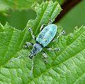 Nettle Weevil, Phyllobius pomaceus - Flickr - gailhampshire (2).jpg
