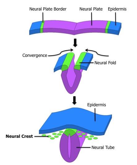 File:Neural Crest.tiff