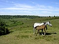 New Forest pony and foal at Gravel Pit Hill - geograph.org.uk - 27286.jpg