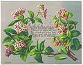 New Year card featuring a Lauristinus (Viburnum tinus) and Solanum, chromolithograph, by Helga von Cramm, with prayer by F.R. Havergal, c. 1880.jpg