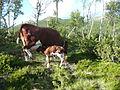 Newborn calf and proud cow.JPG