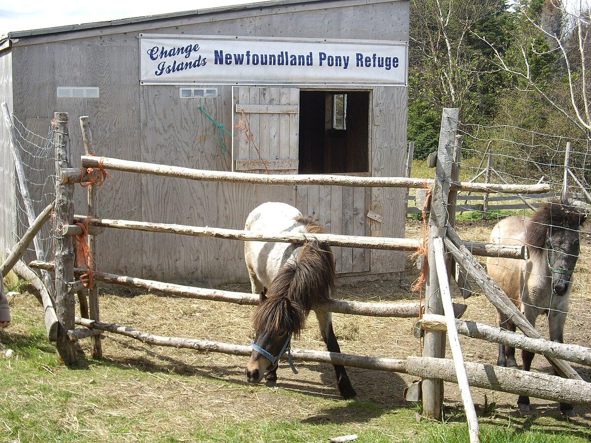 Newfoundland Pony Wikipedia