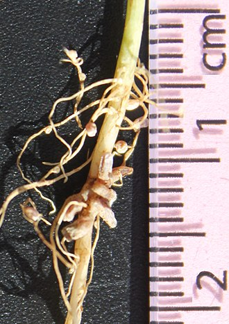 Root nodule - Nitrogen-fixing nodules on a clover root.