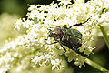 Noble chafer in NE-Germany (5110314316).jpg