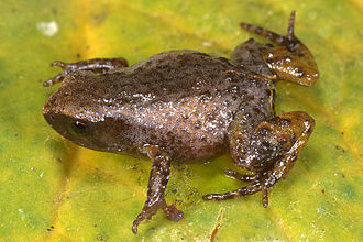 Noblella - Noblella pygmaea