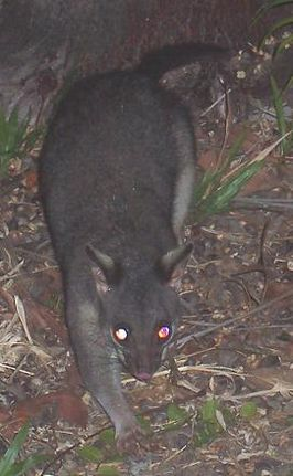 Northern Brushtail Possum.JPG