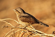 Northern wryneck by David Raju (cropped).jpg