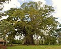 Notice Negros (Century Old Balete Tree in Negros Occidental).jpg