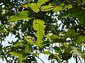 Nuurimaram (Malayalam- നൂറിമരം) (4102068099).jpg