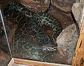 Nyíregyháza Zoo - Python-3.jpg