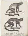 Nyctipithecus vociferans - 1809-1845 - Print - Iconographia Zoologica - Special Collections University of Amsterdam - UBA01 IZ20200214.tif