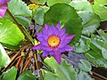 Nymphaea nouchali - Blue Water Lily 2014 (10).jpg