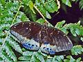 Nymphalidae - Lexias pardalis.jpg
