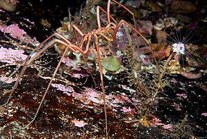 Sea spider - Pycnogonid grazing on a hydroid
