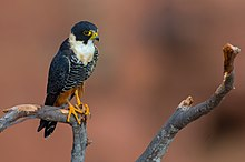 OFalco rufigularis Bat Falcon.jpg