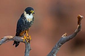 Bat falcon - Image: O Falco rufigularis Bat Falcon