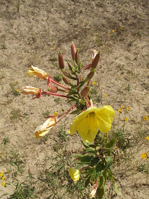 Oenothera glazioviana - Image: Oenothera erythrosepala Große Nachtkerze Grote teunisbloem l'Onagre à sépales striés de rouge Evening Primrose
